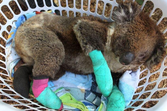 کوآلای آسیب دیده از آتش سوزی های استرالیا